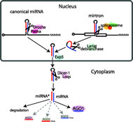 Fig 1. Canonical miRNA and mirtron pathways in Drosophila.