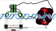 Fig 12. Molecular architecture of Gal4BD-Spo11.