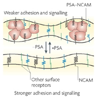 Fig 1b. The steric role of PSA at the cell surface. A schematic representation of molecular interactions during membraneñmembrane contact.