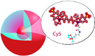 Fig 1a. A schematic representation of Cy5 reactive dye incorporated into the core of an amorphous silica nanoparticle.