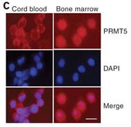 Fig 5c. Role of PRMT5 in developmental globin gene silencing.