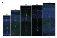 Fig 1c. EGFP-expressing radial clones observed in individual brain sections at postnatal stages.