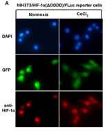 Fig 5a. Immunofluorescence analysis of HIF-1a(?ODDD)/Fluc trafficking in the NIH3T3 reporter cell line.