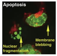 Fig 2. Dual-tagged ES cells with H2BñGFP as a nuclear marker and myrñRFP as a label for the plasma membrane.